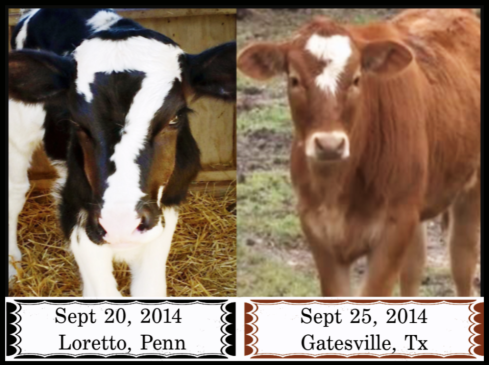 2 cows with the #seven on their head Sept 2014